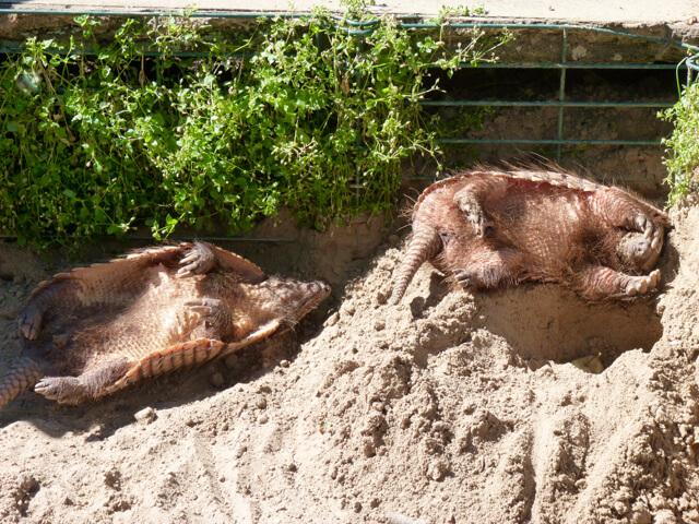 šarvuotis rauboniu zoo